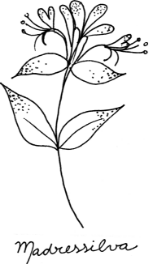Ingredientes Madressilva